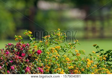 Yellow texas lantana and knock out roses with beautiful bokeh in background.