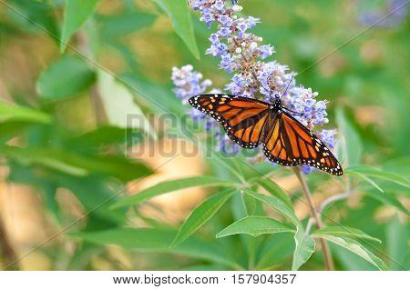 Butterfly on a purple chaste tree flower.