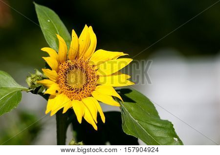 Beautiful Yellow Sunflower in a garden with copy space.