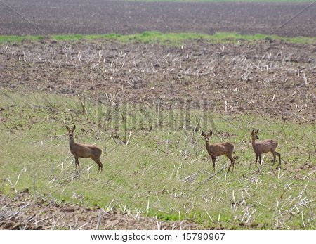 young roebuck and does