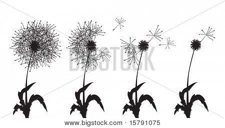 Vector illustration of several dandelions loosing their fuzzes