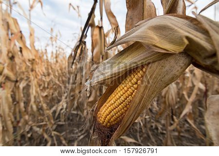 Ripe Maize Ear In Cultivated Corn Field Ready For Harvest