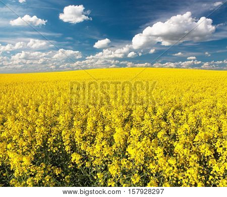 golden field of flowering rapeseed with beautiful clouds on sky - brassica napus - plant for green energy and oil industry