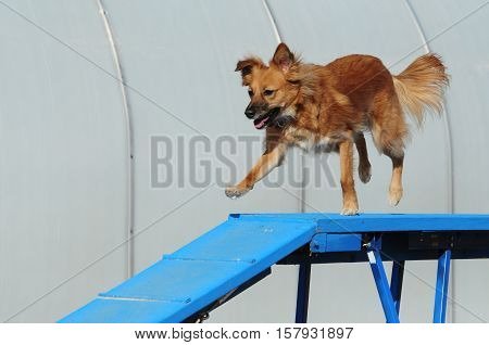 Dog agility: Mixed breed dog running across dog walk