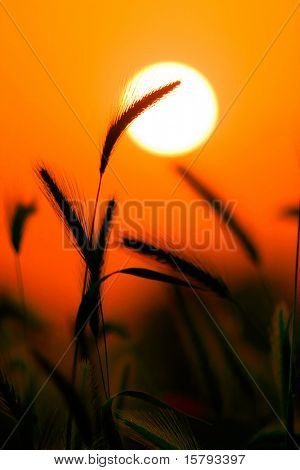 Grass Silhouette Against Sunset, Close up of ripening rye ears. Shallow DOF. Secale cereale L.