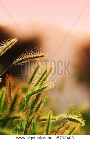 Close up of ripening rye ears. Shallow DOF. Secale cereale L. Southern California, USA