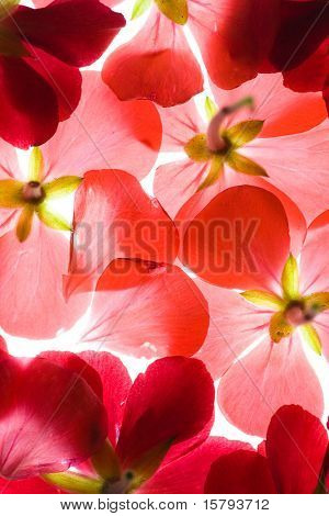 Backlit Red Flower Petals Background