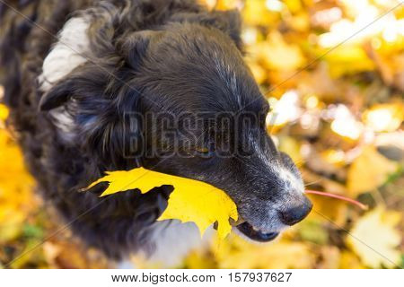 a dog plays in the colorful fall leaves and carries one in his mouth