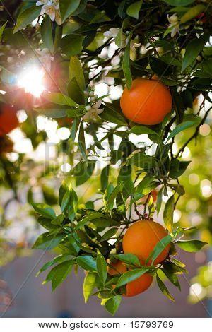 Ripe Oranges On A Tree Close-Up. Shallow DOF