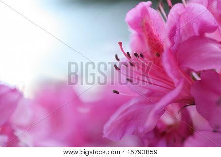 Pink Blossom. Close-Up of Azalea Flower. Shallow DOF, focus on pistil and stamens.