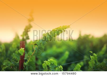 Vine plants close-up, shallow DOF. Napa Valley, California, USA.