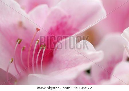 Floral background. Close-up of Azalea flower. Shallow DOF, focus on pistil and stamens.