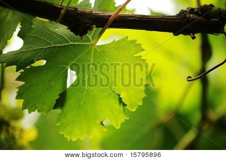 Grape leaf on grapevine, close-up. Shallow DOF.