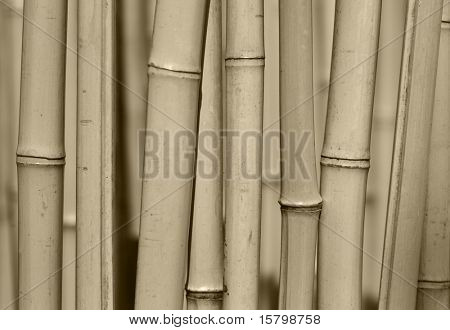 Bamboo trees forest background close-up.