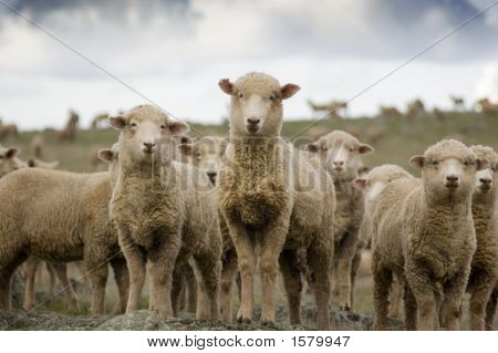 Sheep Standing Out