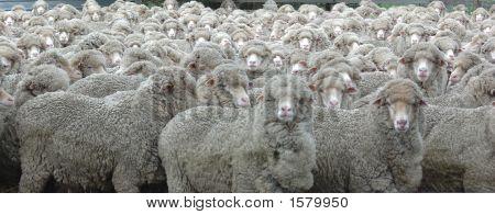 Schafe auf der Suche