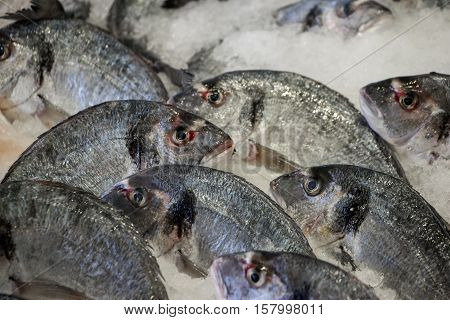 Fresh sea bass on ice in the greek fish shop lined up for sale. Sea bass fishes on ice. Horizontal. Daylight.