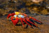 stock photo of crustations  - Sally Lightfoot Crab on the Galapagos Islands - JPG