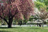 Постер, плакат: Apple цветет в кладбище
