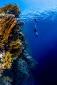 Freediver descending along the vivid reef wall. Red Sea, Egypt poster
