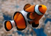 stock photo of clown fish  - A clownfish  - JPG