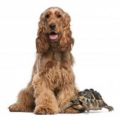 picture of testudo  - English Cocker Spaniel - JPG