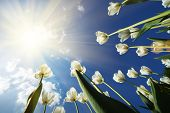 stock photo of pov  - White tulips flowers growing over blue sky background - JPG