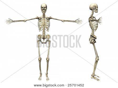 Skeleton - 3d render