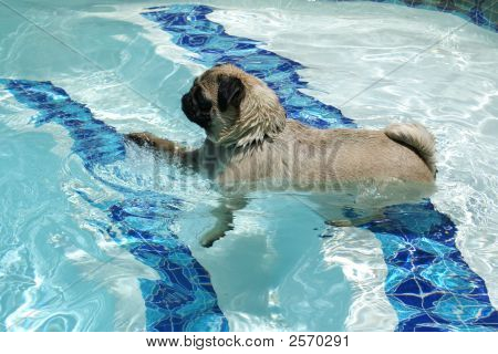 Pug Takes On Water