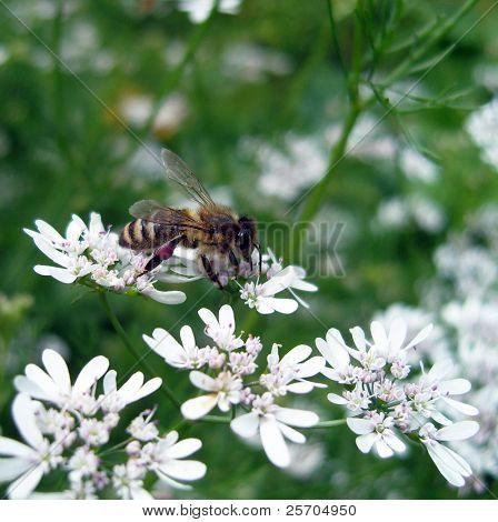 Biene auf Koriander Blumen.
