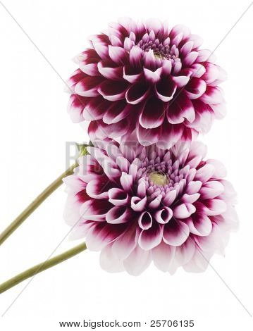 Purple dahlia. Isolated with clipping path