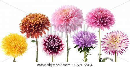 Set of dahlia flowers in different color on a white background
