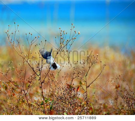 Blue Jay on Beach