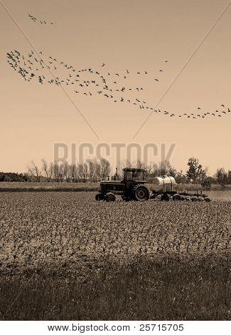 Tractor en la cosecha de otoño con sobrecarga de aves migratorias
