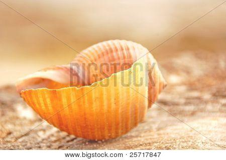 Pretty seashell on shore at dusk