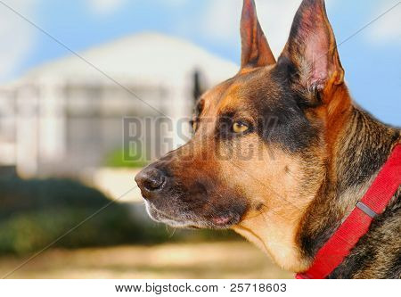 German Shepherd Watchdog on Watch