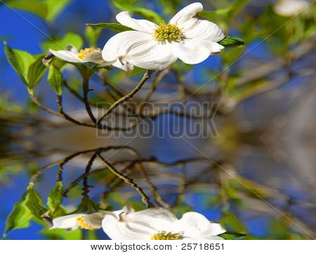 Beautiful dogwood tree blossom over still pond