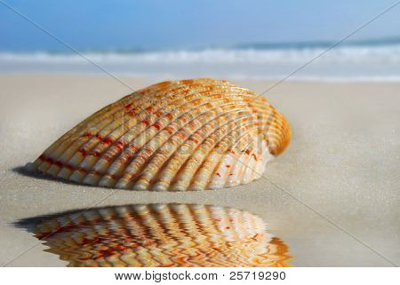 Pretty seashell and reflection on beautiful beach