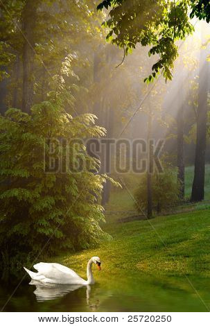 Swan in lake with early morning sunshine streaming through trees on foggy morning