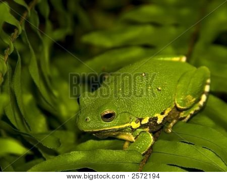 Tree Frog Camo
