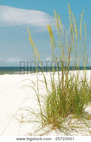 Pretty sea oats blowing in seashore breeze