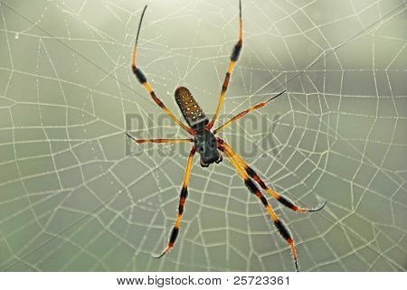 Banana spider on web with morning dew