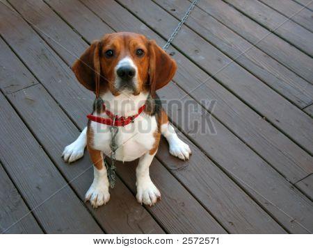 Beagle pura raza