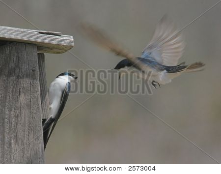 Tree Swallows (Tachycineta Bicolor) Squabbling