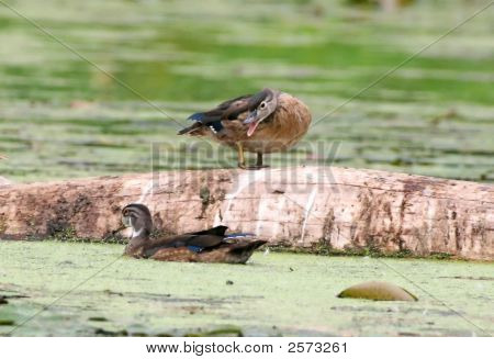 Baby Wood Ducks (Aix Sponsa)