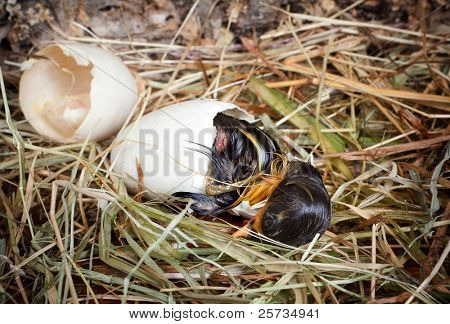 Little hatching duckling paying its last efforts to get out of the egg