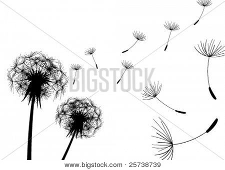 Blow Dandelions on white background