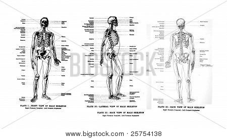3 Views Of The Human Skeleton, Full Frontal , Lateral And Rear,