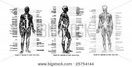 3 Views Of The Human Muscles, Full Frontal , Lateral And Rear,