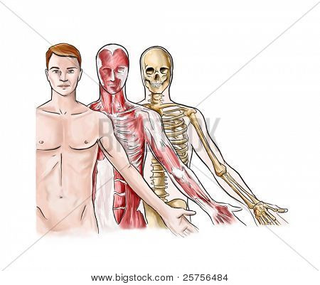 Anatomical illustration of the skeleton and muscles of a human male